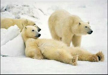 Polar Bear's Rest Time - Funny Pictures and Images