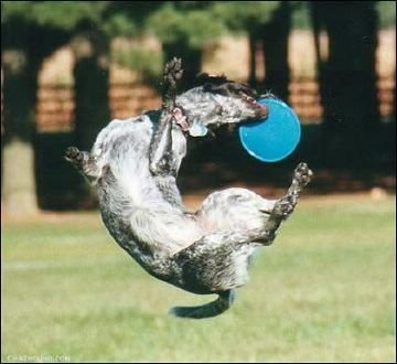 Dog Catching The Frisbee - Funny Pictures and Images