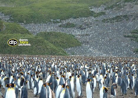 Field of penguins - Funny Pictures and Images