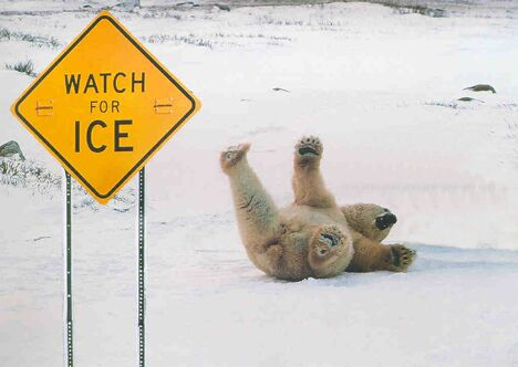 Polar Bear Slipping - Funny Pictures and Images